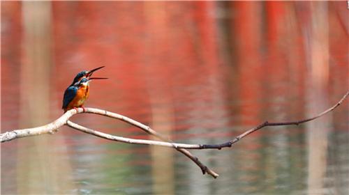 云南迪庆将举办第四届香格里拉冬季国际观鸟节2.jpg