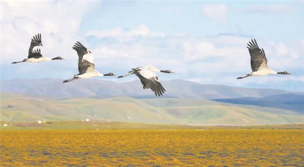 万只越冬候鸟翔集若尔盖湿地1.jpg
