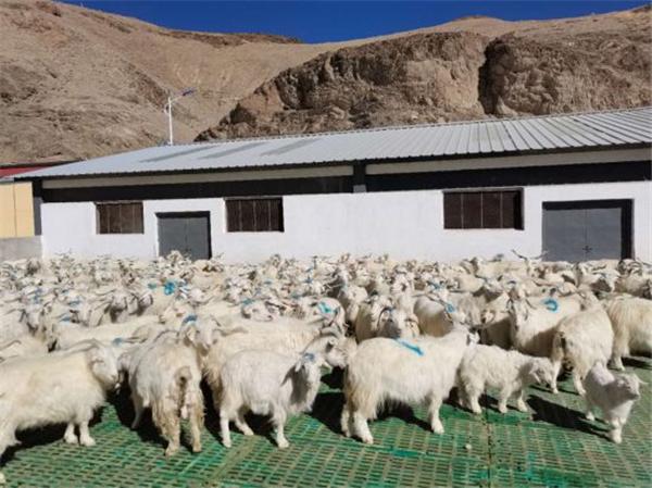 """日土山羊绒:西藏的""""纤维宝石""""1.jpg"""