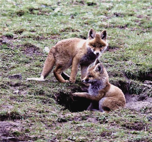 雪域草原上,那些小赤狐的一天4.jpg