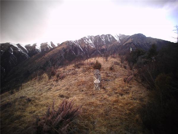 西藏怒江河谷记录到雪豹和金钱豹同域稳定分布.jpg