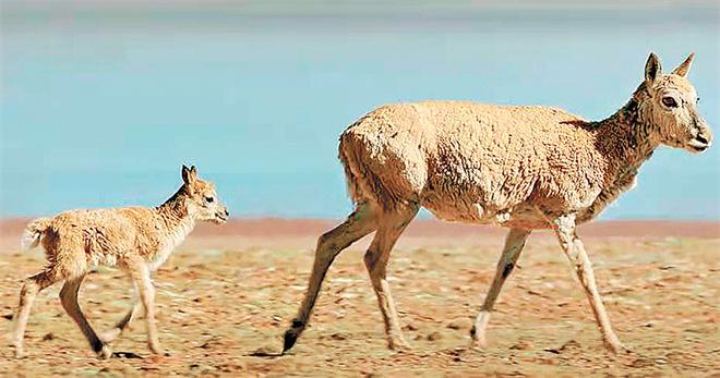 身后和远方——目击藏羚羊大迁徙5.jpg