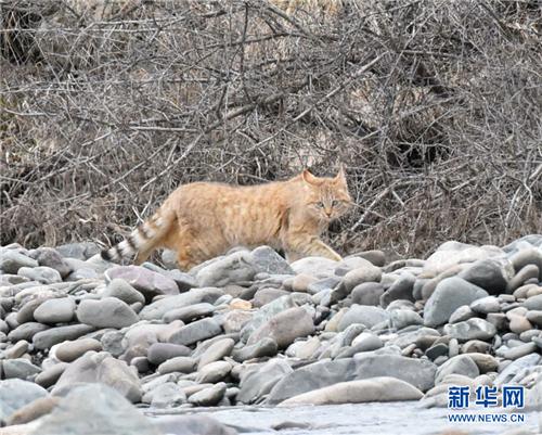 祁连山国家公园首个荒漠猫专项调查取得阶段性成果1.jpg