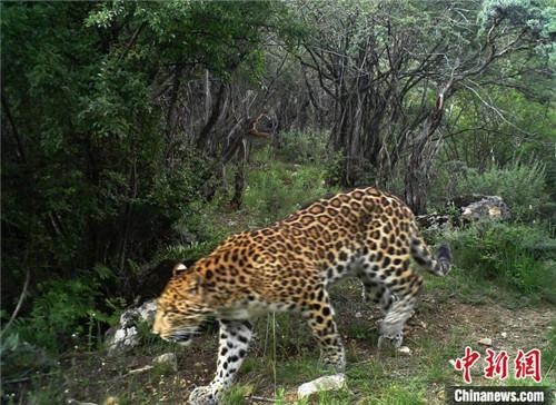 西藏首次记录到雪豹和金钱豹同域分布影像2.jpg